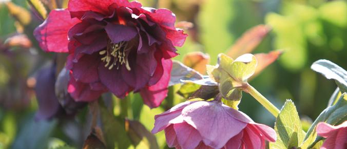 rosenmesse